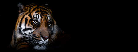Template of Portrait of Tiger with a black background