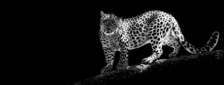 Template of Portrait of Panther with a black background 版權商用圖片