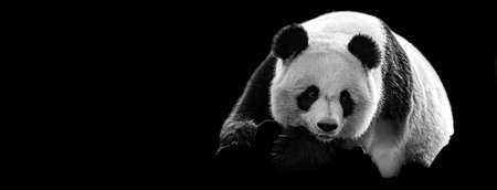 Template of Portrait of panda with a black background