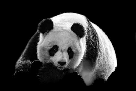 Portrait of panda with a black background
