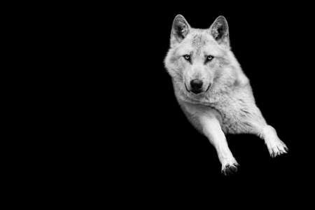 Portrait of white wolf with a black background