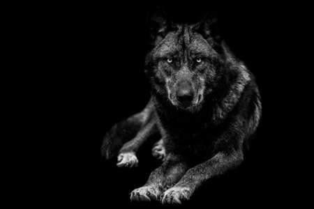 Portrait of black wolf with a black background 版權商用圖片