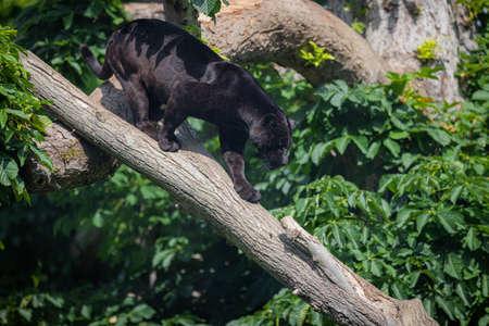 A black Jaguar is resting in the jungle