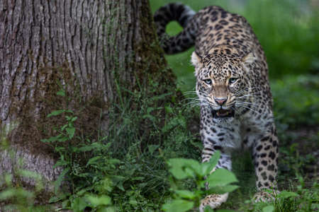 A leopard is resting in the forest