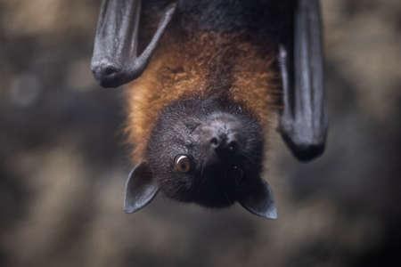 Portrait of a bat in a cave Фото со стока