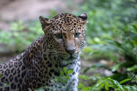 Sri Lankan leopard in the jungle
