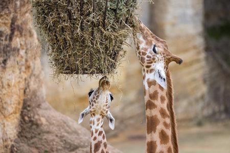 A giraffe eaten dry grass