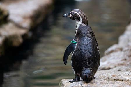Portrait of a Humboldt Penguin Фото со стока
