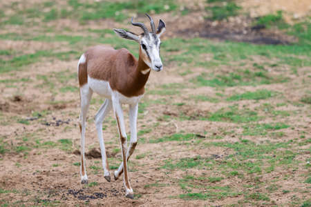 A mhorr gazelle walks in the desert