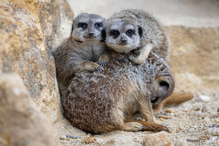 A group of Meerkats are resting together