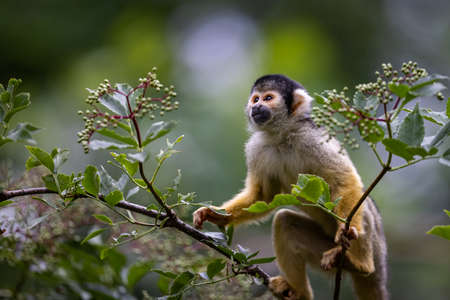 A Squirrel monkey is a tree