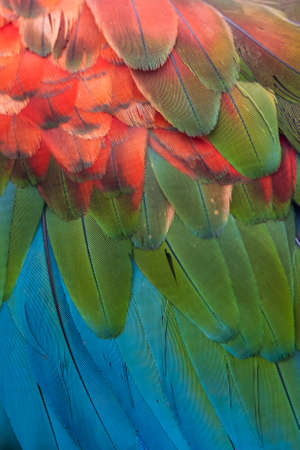 Close-up of the feathers of a Red-and-green Macaw