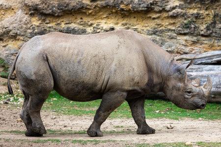 A black rhino walks in the savannah