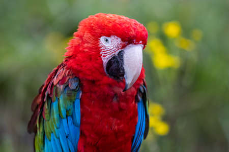 Portrait of a Red-and-green Macaw in the forest