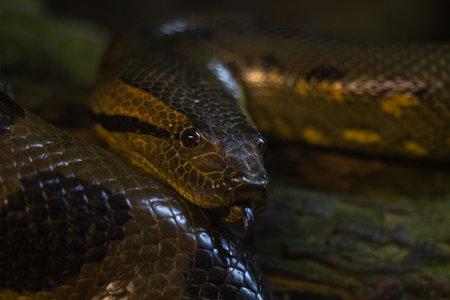 Portrait of a green anaconda in the jungle