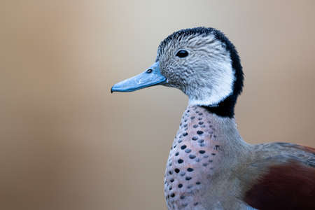 Portrait of a ringed teal near a lake
