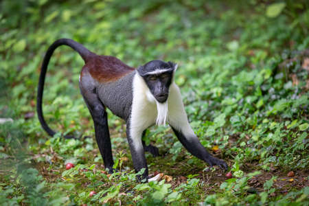 Portrait of a roloway monkey in the forest
