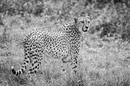 Cheetah walking in the savannah Фото со стока