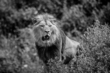 A lion rests in the savannah