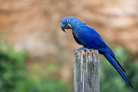 Portrait of a Hyacinth Macaw
