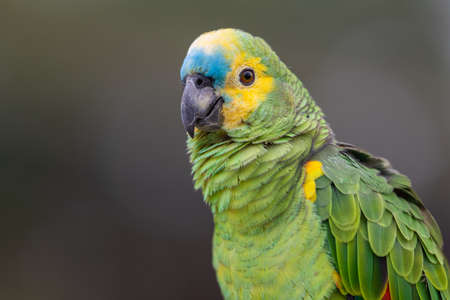 Portrait of a Turquoise-fronted Amazon