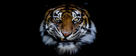 Template of a tiger with a black background Фото со стока