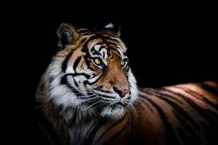 Sumatra tiger with a black background