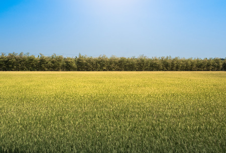 Rice field under the sun and clear blue sky. For design with copy space for text or image. Stock Photo