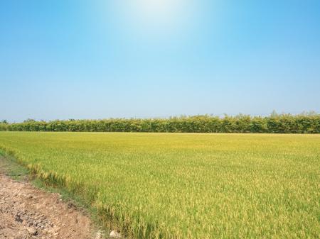 太陽と青空の下の田んぼ。