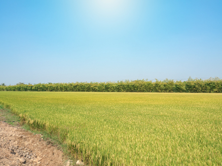 Rice field under the sun and clear blue sky.