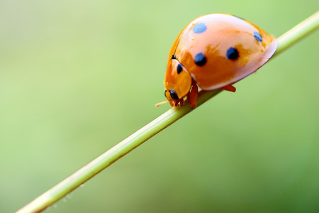 lady beetle: lady bug Stock Photo