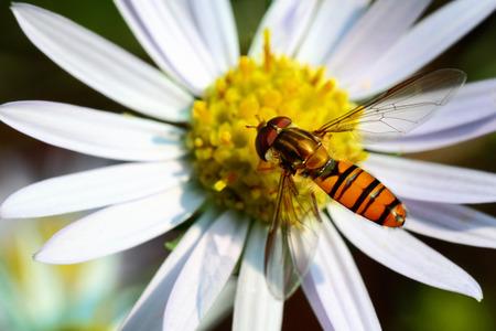 diptera: Syrphidae