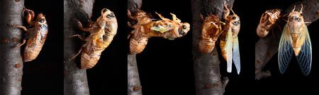 metamorphosis: The metamorphosis of cicadas Stock Photo