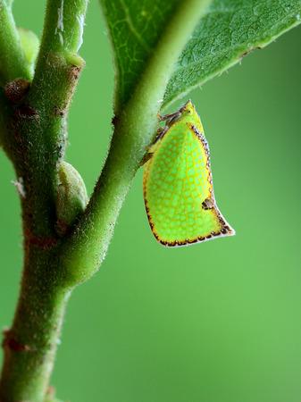 edge: Brown edge moth wax cicada