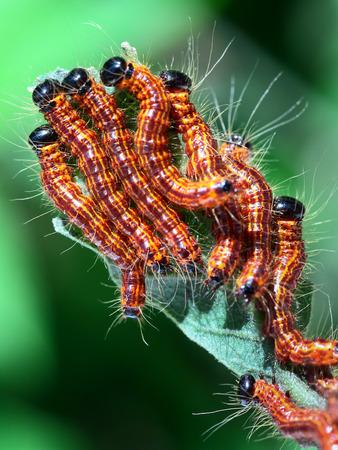 moth: Moth larvae