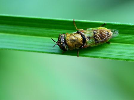 diptera: Close up to a Stratiomyiidae Stock Photo