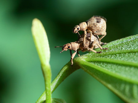 Close up to a weevil Stock Photo