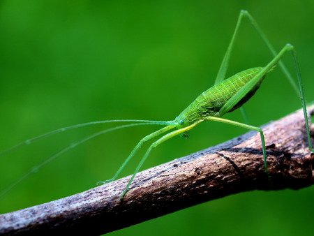 longhorned: Close up to a long-horned grasshopper Stock Photo