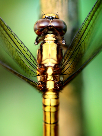 yellow: Yellow Dragonfly