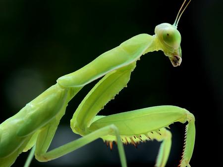 Mantis close-up Stock Photo