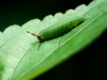 oruga: caterpillar
