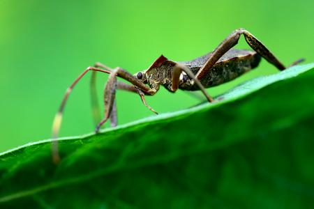 squash bug: squash bug