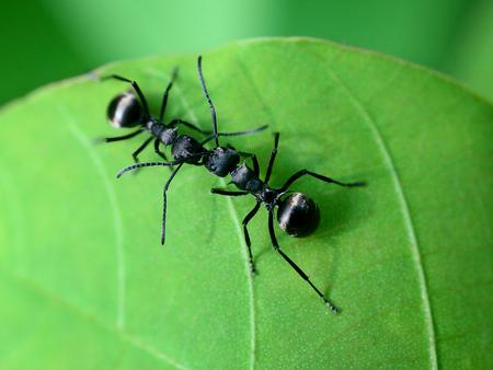 black: black ants