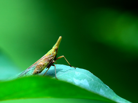 cicada: cigarra de cera
