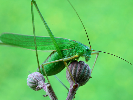 Close up view of long-horned grasshopper