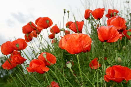 poppy seeds: A poppy field Stock Photo