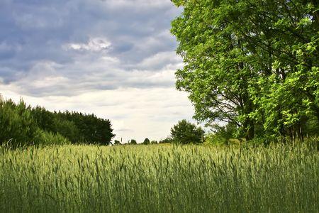 reaping: Wheat field