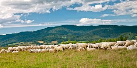 muster: Sheep