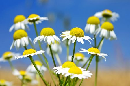 Wild Daisies photo