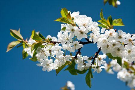 Beautiful blossoming branch photo